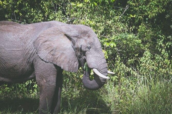 Slon africký v Ugandě