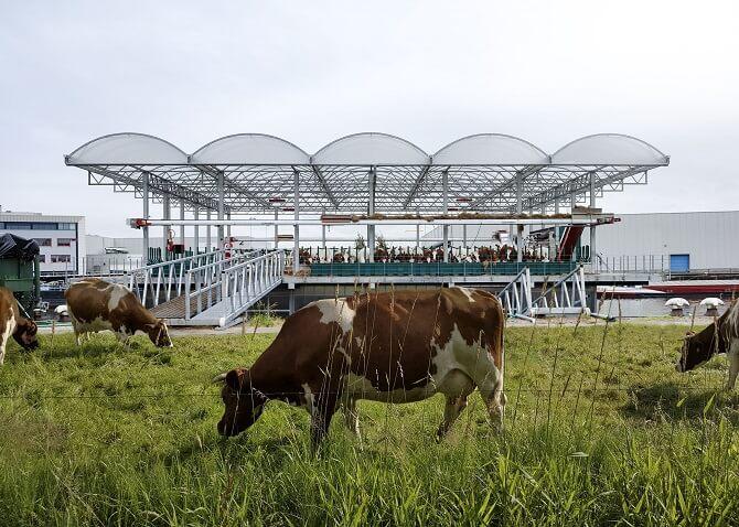 kráva se pase před plovoucím kravínem v Rotterdamu